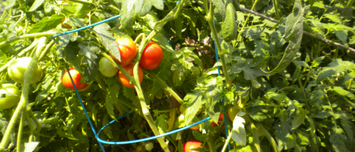 blog tomatoes2015