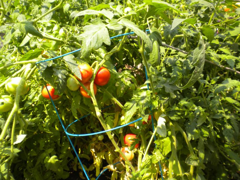 blog tomatoes2015