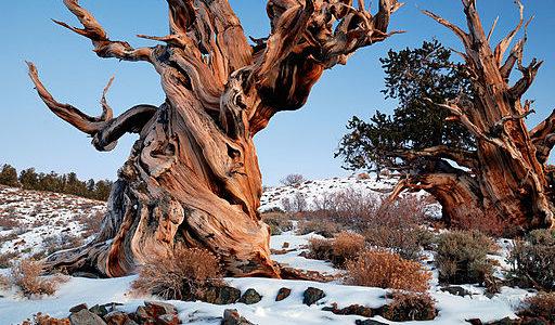 Gnarly_Bristlecone_Pine